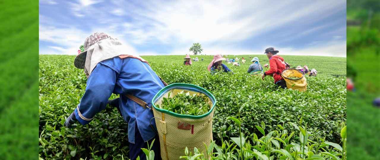 Happy Valley Tea-Garden
